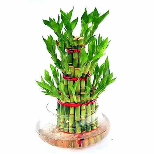 Beautiful Lucky Bamboo and New Year Fai Chun Arrangement in a Porcelain Pot