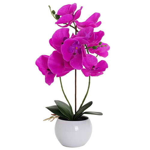 Attention-Getting 2 pcs. Orchids Plants with Fond Affection