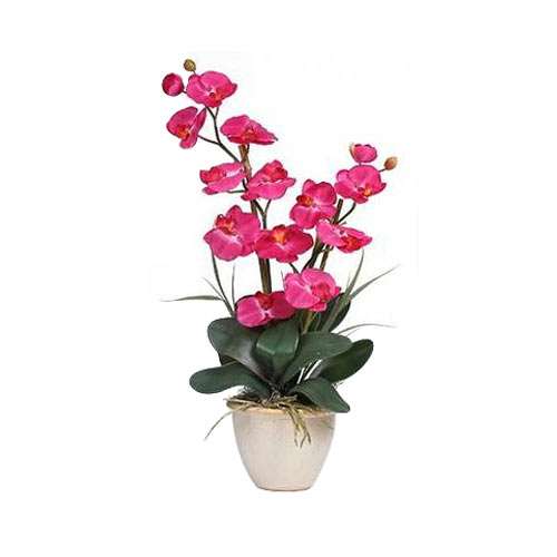 Send Rich Decorative Orchid Plant with Expression of Love to DiscoveryBay