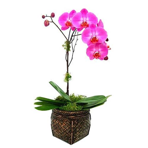 Beautiful Orchid Plant with Sweet Seduction