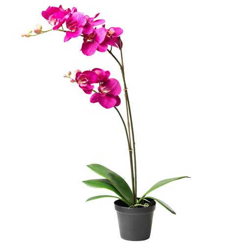 Gorgeous Orchid Plant in Romantic Vase